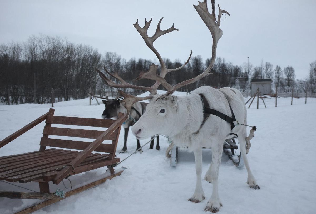 Reindeer_White