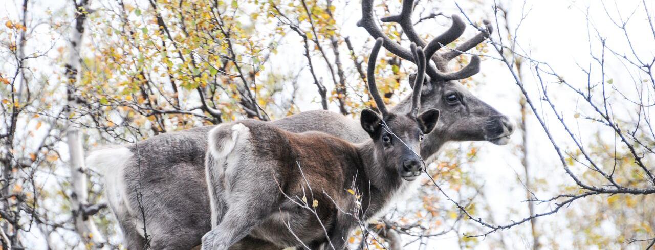 The Reindeer, an Arctic Symbol