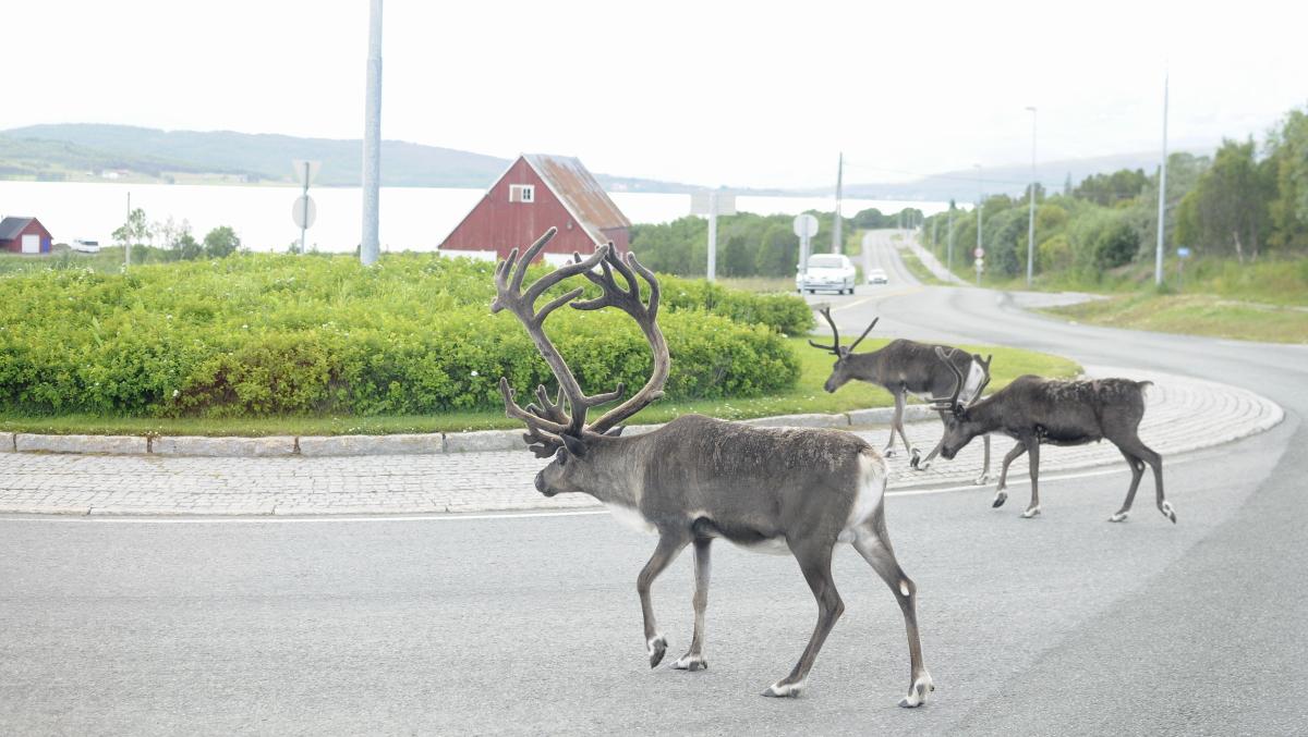 reindeer_Road